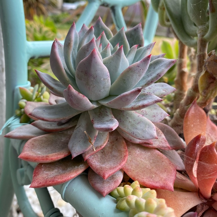 Plant image Echeveria Blue Bird