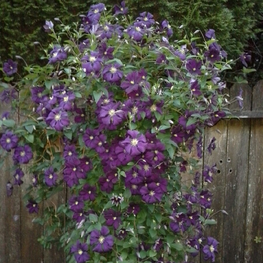 clematis viticella 39 etoile violette 39 clematis 39 etoile violette 39 uploaded by daddysgirlsiren. Black Bedroom Furniture Sets. Home Design Ideas