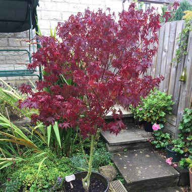 Japanese Maple 'Red Wine'