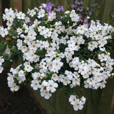 Bacopa 'Colossal White'