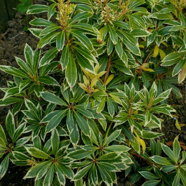 Plant image Pieris 'Flaming Silver'