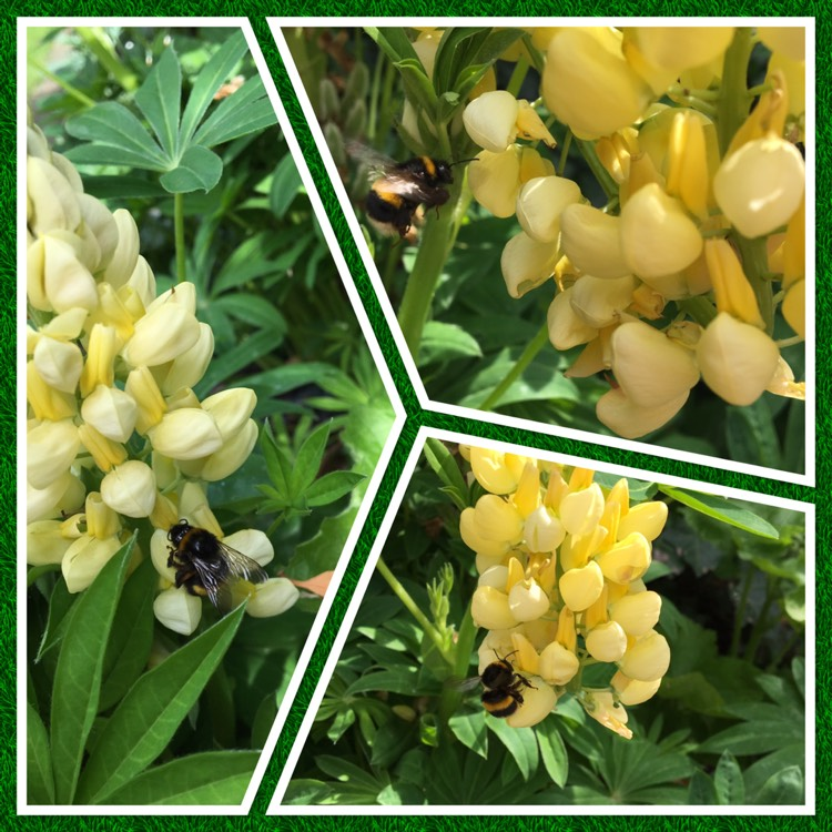 Lupinus chandelier lupin chandelier uploaded by daisy65 plant image lupinus chandelier aloadofball Image collections