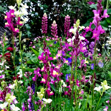 Toadflax 'Fairy Bouquet Mixed'