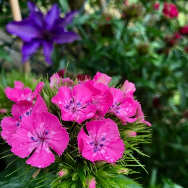 Dianthus barbatus 'Persian Carpet'