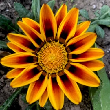 Gazania 'Tiger Stripes Mixed'