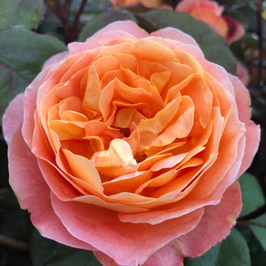 Rosa 'Dame Judy Dench'