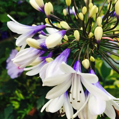 African Lily 'Indigo Frost'