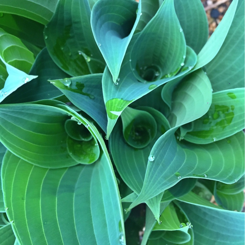 hosta sieboldiana 39 elegans 39 plantain lily 39 elegans. Black Bedroom Furniture Sets. Home Design Ideas