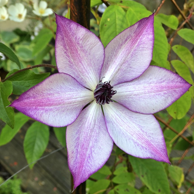 Plant image Clematis 'Fond Memories'