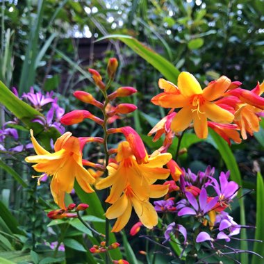 Crocosmia x crocosmiiflora 'Fire Jumper'