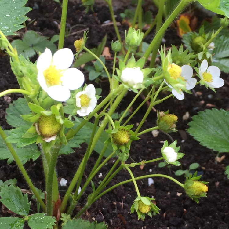 Plant image Fragaria x ananassa 'Cambridge Favourite'
