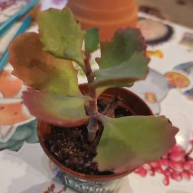 Red Leaved Kalanchoe