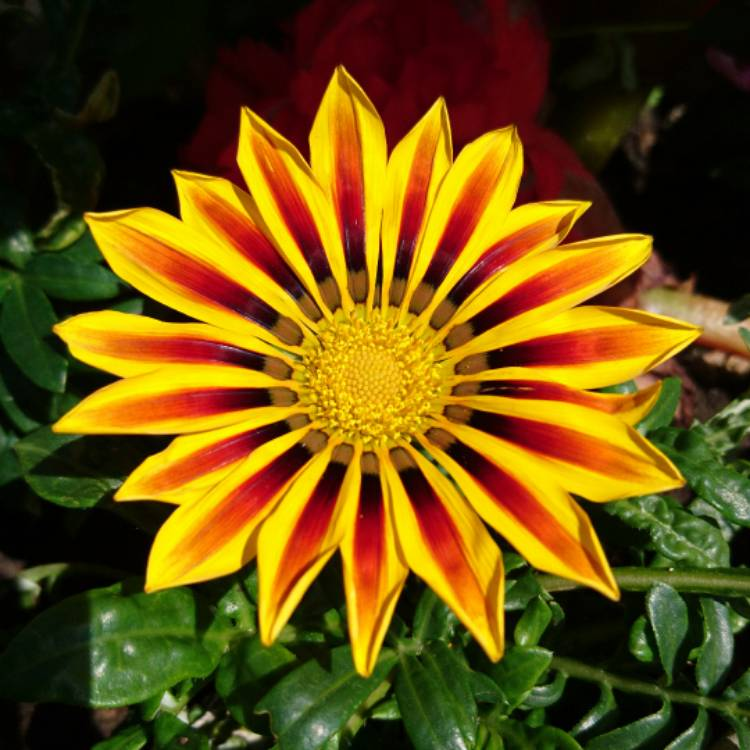 Plant image Gazania rigens Big Kiss 'Yellow Flame'