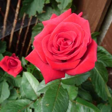 Hybrid Tea Rose 'Thinking Of You'