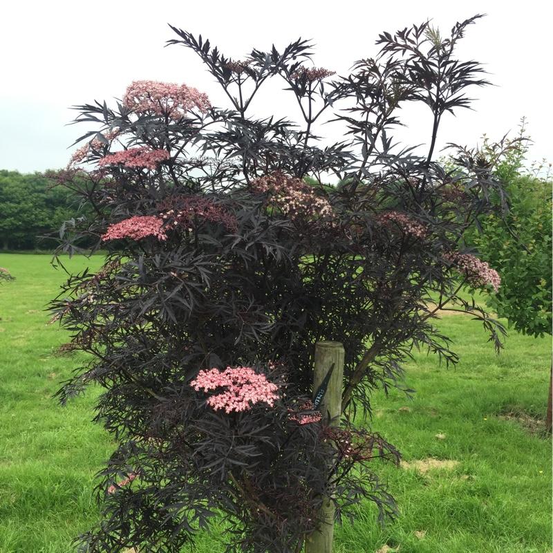 sambucus nigra f porphyrophylla 39 black lace 39 elderflower black lace uploaded by rosit87. Black Bedroom Furniture Sets. Home Design Ideas
