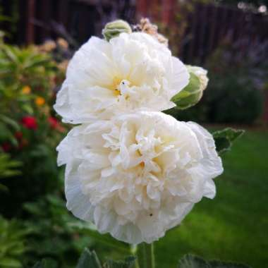 Hollyhock 'Chater's Double White'