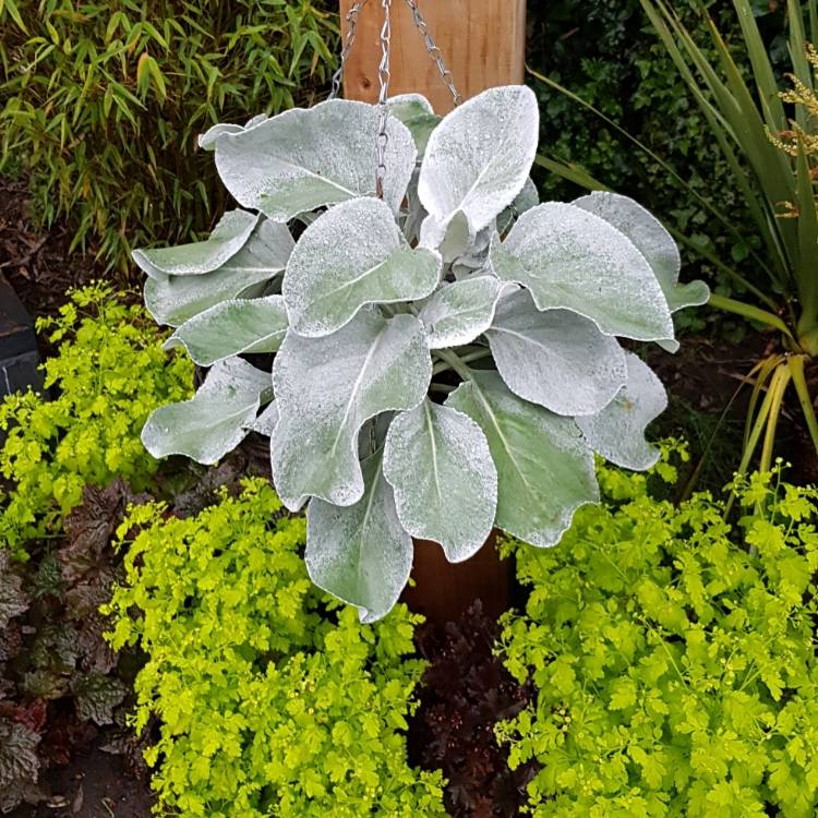Plant image Senecio candicans 'Angel Wings'
