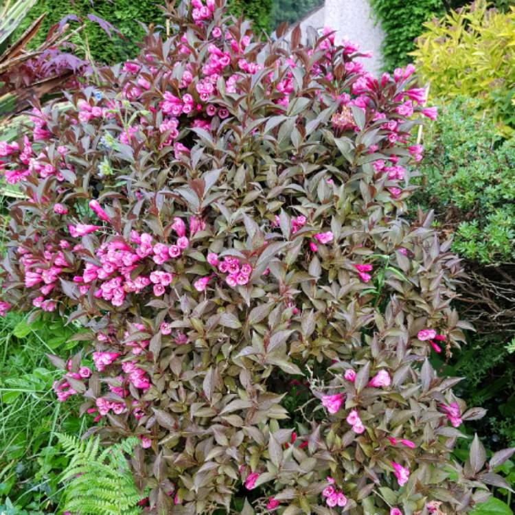 Plant image Weigela florida 'Alexandra' syn. Weigela florida 'Wine and Roses'