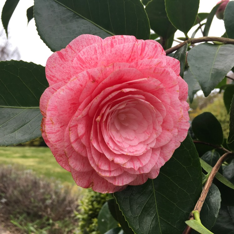 Plant image Camellia japonica 'William Bartlett'