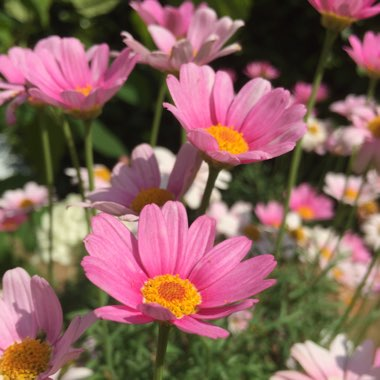 Comet Pink Marguerite Daisy