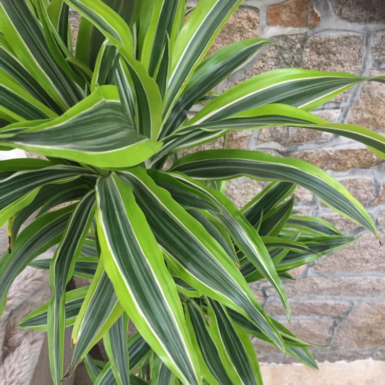 Plant image Dracaena fragrans 'Lemon Lime'