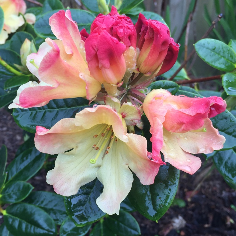 Plant Rhododendron 'Nancy Evans'