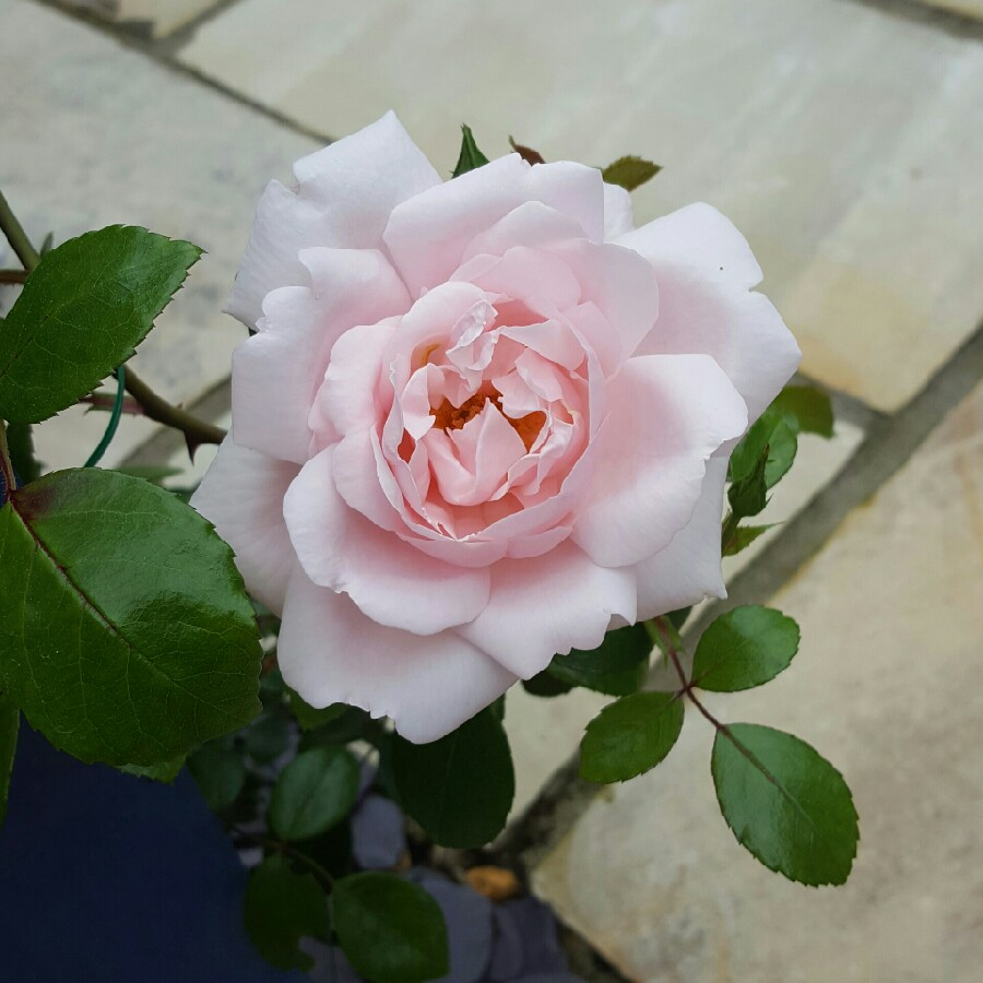Plant image Rosa 'New Dawn' syn. Rosa 'The New Dawn'