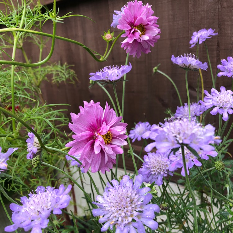Plant image Scabiosa 'Butterfly Blue'