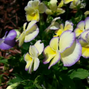 Horned Pansy 'Etain'