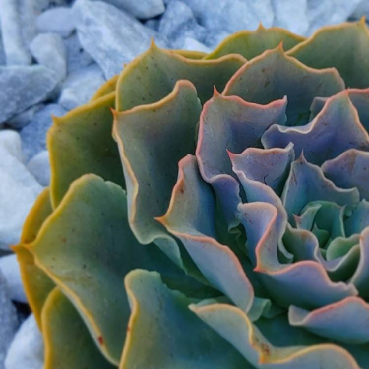Plant image Echeveria Domingo
