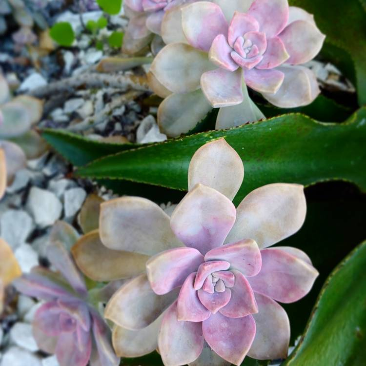 Plant image Graptopetalum Purple Delight syn. Graptopetalum Snow White
