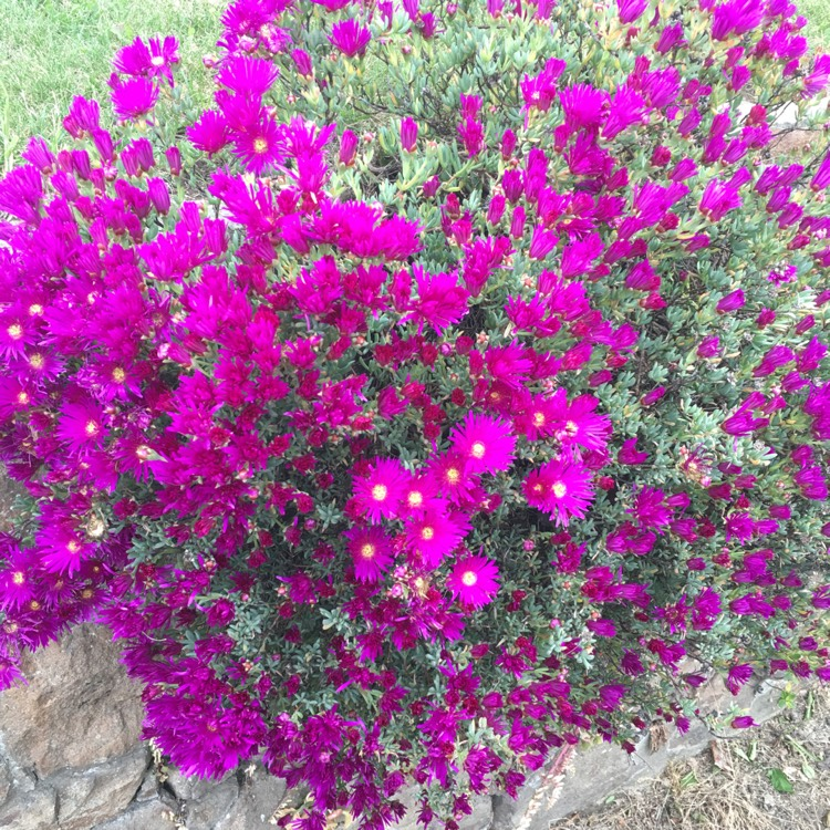 Plant image Delosperma cooperi 'Jewel of Desert Garnet' (Jewel of Desert Series)