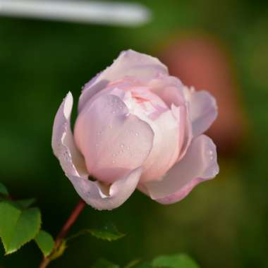Rose 'The Generous Gardener' (Shrub)