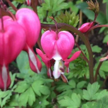 Dicentra formosa 'King of Hearts'