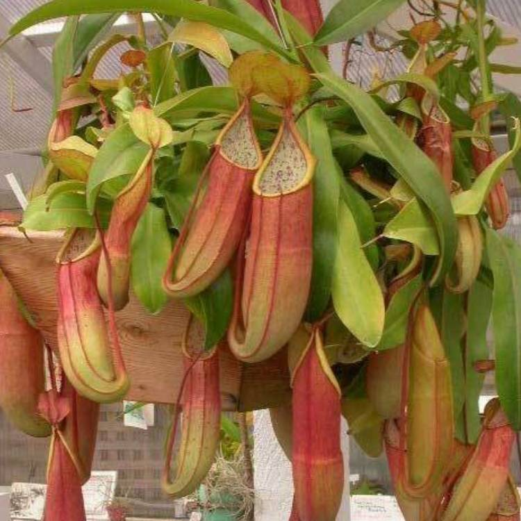 Plant image Nepenthes Sanguinea