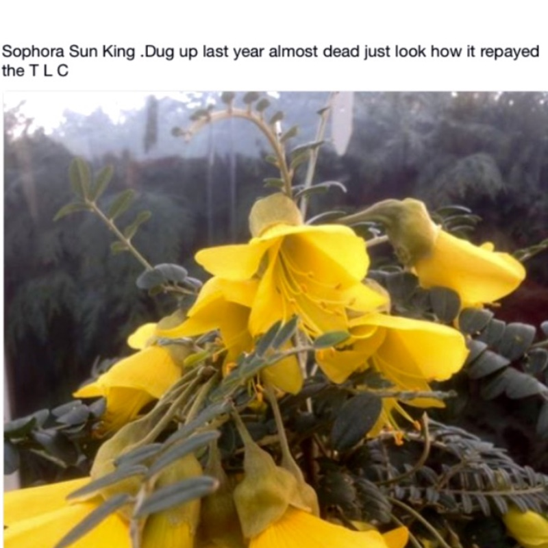 Plant image Sophora microphylla 'Sun King'