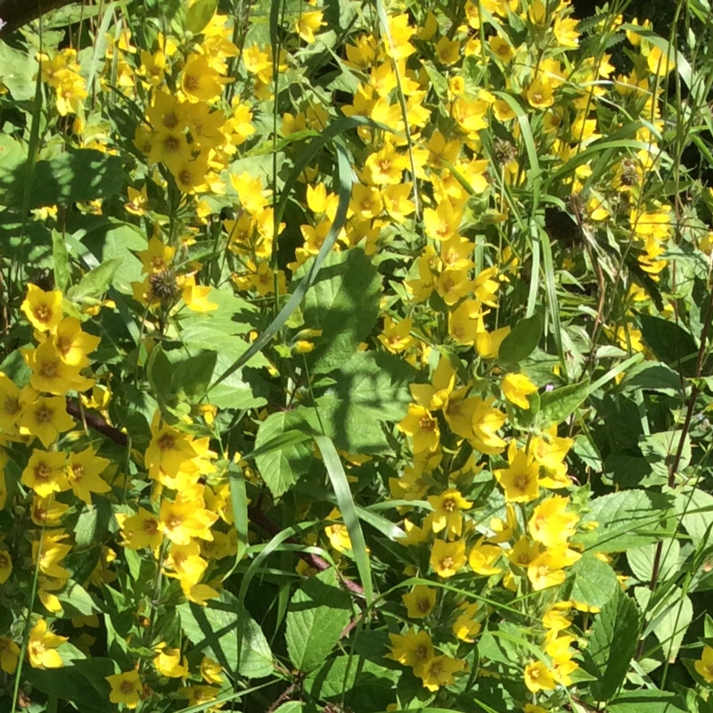 Large Yellow Loosestrife