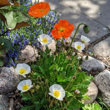 Icelandic Poppy 'Artist's Glory' (Mix)
