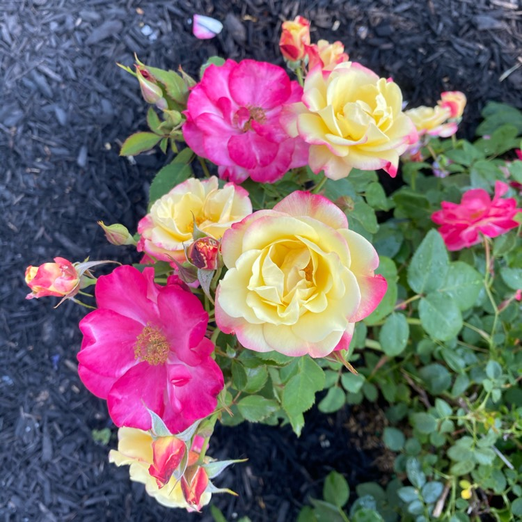 Plant image Rosa 'Ca29' (Canadian Artists Series) syn. Rosa 'Campfire', Rosa '23hefr01', Rosa 'RSM HE1', Rosa 'First Editions Campfire Rose'