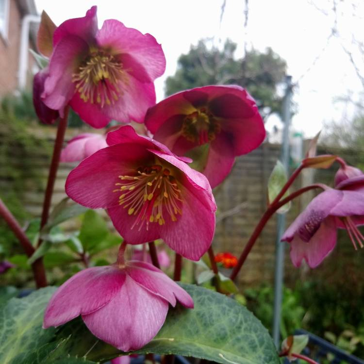 Plant image Helleborus 'Frostkiss Dorothy's Dawn' (Rodney Davey Marbled Group)