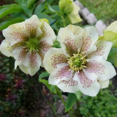 Hellebore 'White Lady Spotted'
