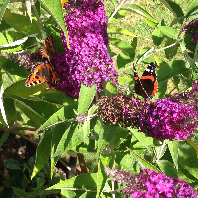 Butterfly Bush 'Harlequin'