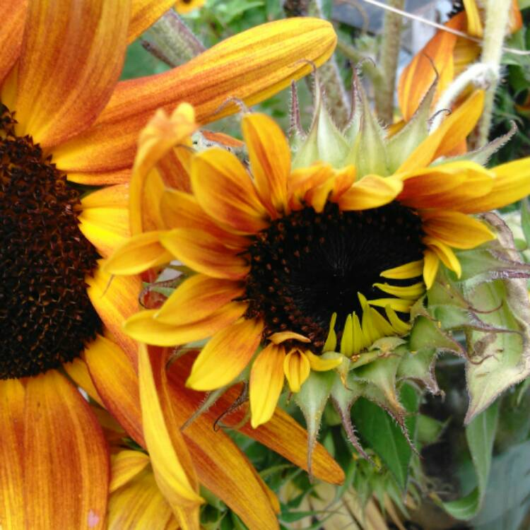 Plant image Helianthus annuus 'Autumn Beauty'
