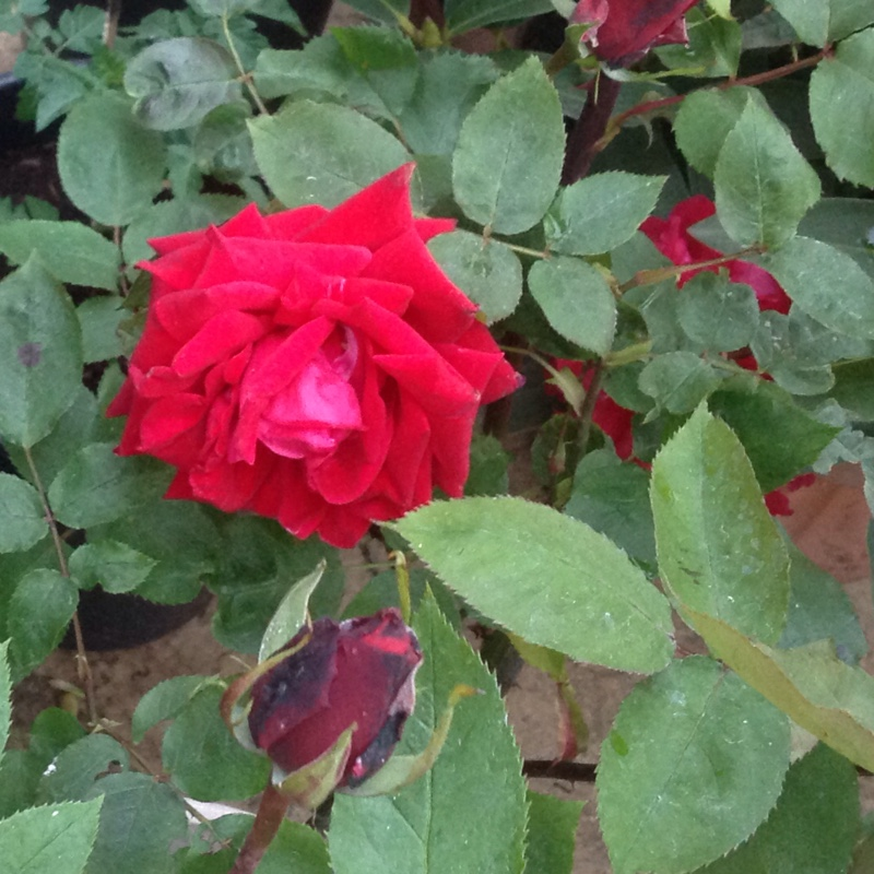 Rose 'Ruby Wedding'