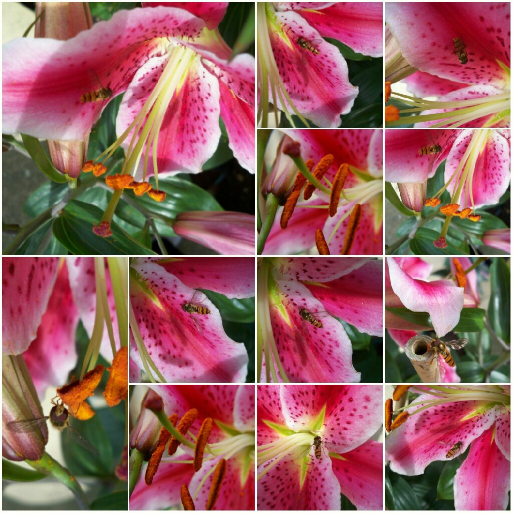 Plant image Lilium 'Entertainer'