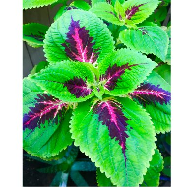 Coleus 'Burgundy Wedding Train'