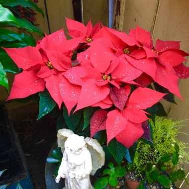 Poinsettia 'Red'