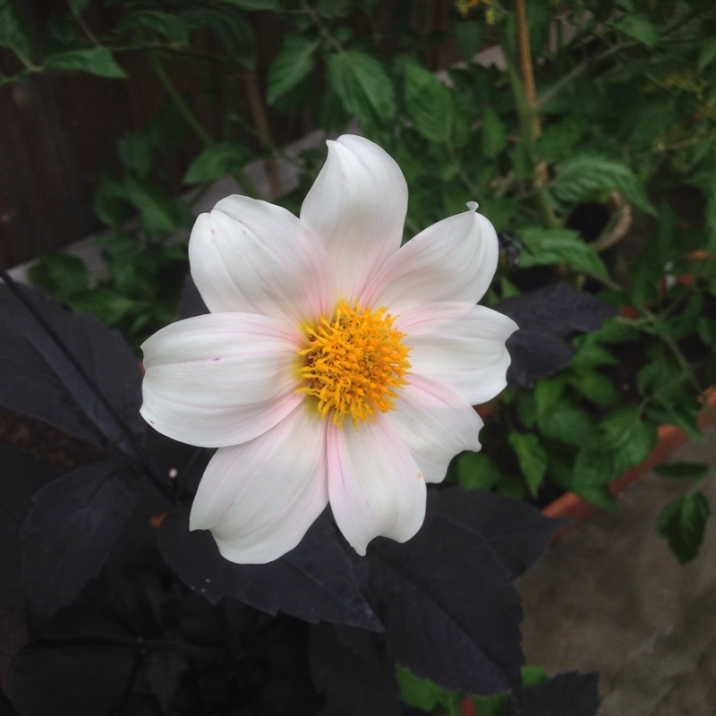 Plant image Dahlia 'Twyning's After Eight'