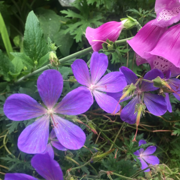 Plant image Geranium 'Johnson's Blue'