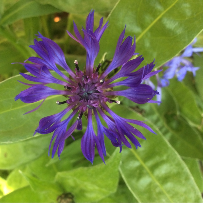 Perennial Cornflower 'Mountain bluet'